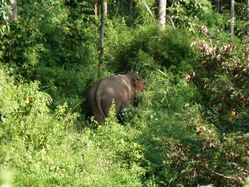Freilebender Elefant im Jungle
