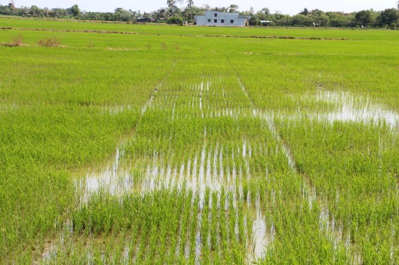 Die Reispflänzchen werden zwei Wochen nach dem sähen  einzeln von Hand (!) in Reih und Glied angeordnet (achtet auf die Symetrie)