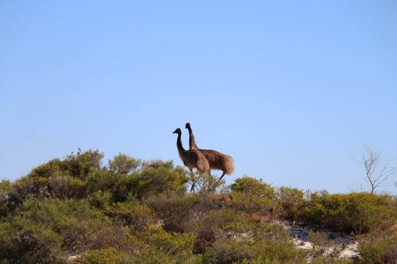 Emus haben wir dann doch noch gesehen :-)