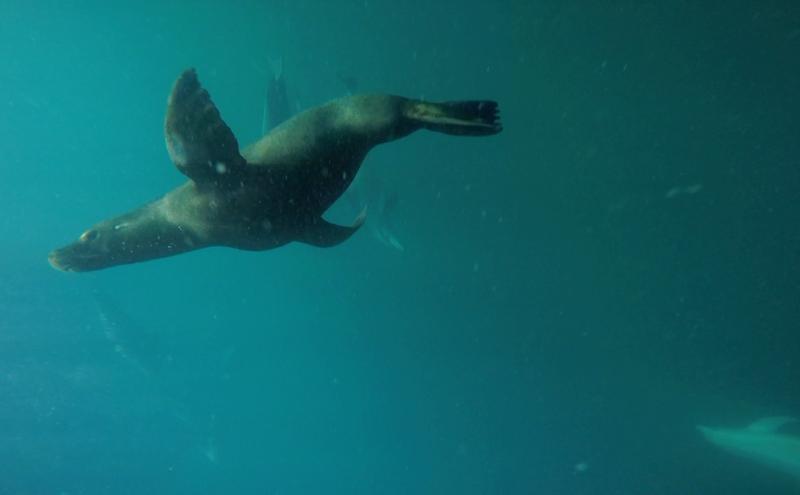 Beim beobachten der Delfine kam plötzlich ein Seelöwe der mit den Delfinen spielen wollte. Laut Guides eine Seltenheit.