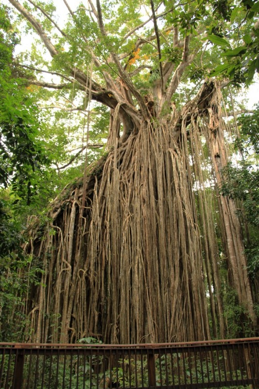 Das ist ein riesiger Feigen-Baum.