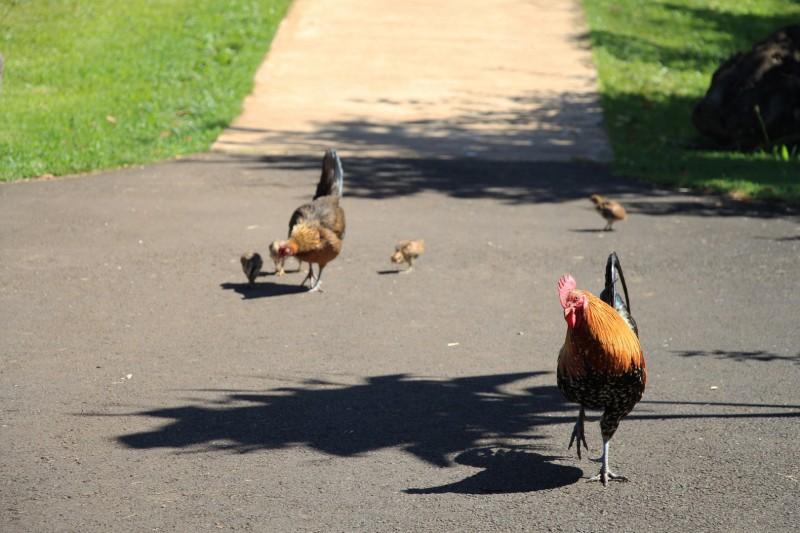 Eine Hassliebe: Die Roosters von Kauai
