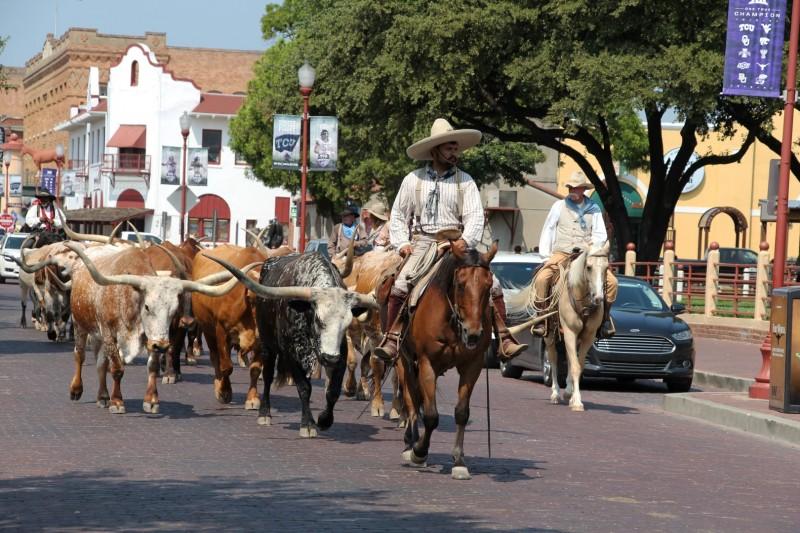 Longhorns ziehen durch die Strassen in Dalllas Forth Worth