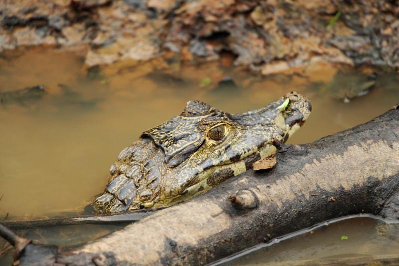 Die Caimans haben wir all paar Meter im Flus/am Flussufer gesehen.