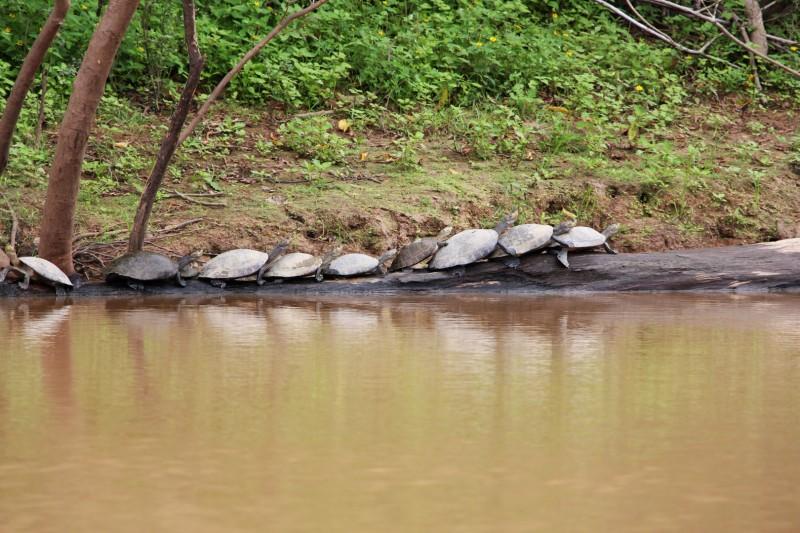 Wasser-Schildkröten geniessen die Sonnenstrahlen.