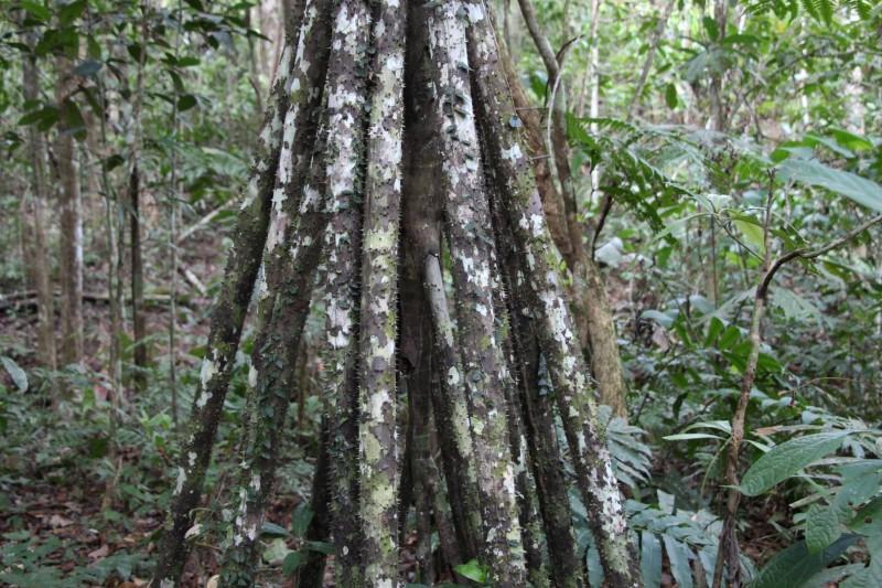 Walking-Tree. Dieser Baum bewegt sich in seinem leben um bis zu 2 Meter.