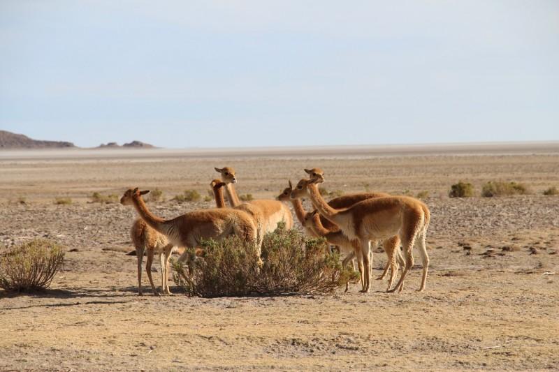 Vicuña, von was diese in der Wüste gelebt haben, bleibt uns ein Rätsel