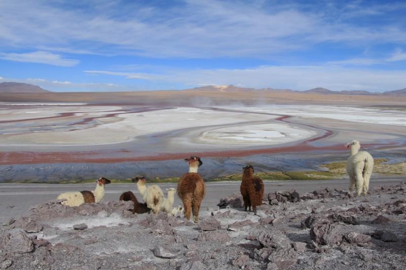 Auch die Lamas geniessen die Aussicht auf die Lagune.